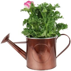 Buttercup in Watering Can
