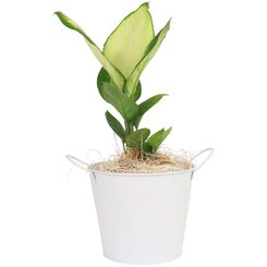 Indoor Plant in White