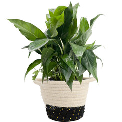 Peace Lily in Woven Basket