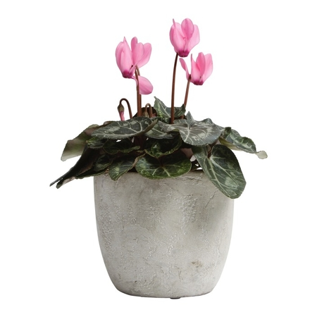 Cyclamen Surprise - Same Day Metro